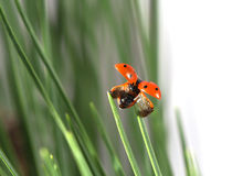 Ladybug in grass. Photo of ladybug in grass Stock Photo