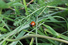 Ladybug in the grass. A beautiful ladybug on a blade of grass. The sun shines on its red hull Royalty Free Stock Photography