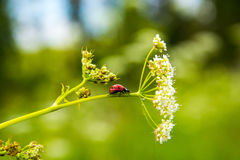 Ladybug. On the grass. bug crawling on the flower. wildlife. the flora and fauna.the fauna of the forest Stock Photos