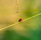 Ladybug on the grass Royalty Free Stock Images