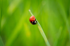 Ladybug on grass Stock Image