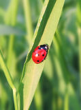 Ladybug in the grass Stock Images