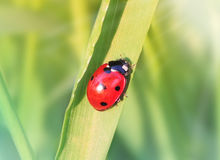 Ladybug in the grass Stock Photo