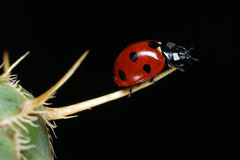 Ladybug on grass. In the dark background Royalty Free Stock Image
