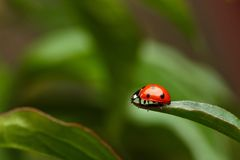 Ladybug on Grass on  Green Background Stock Image