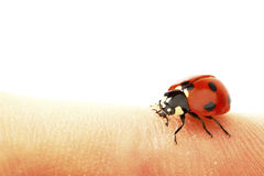 Ladybug on grass Royalty Free Stock Photography