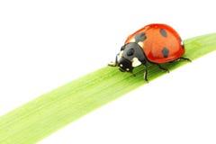 Ladybug on grass Royalty Free Stock Photo