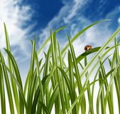 Ladybug on grass leaf Stock Photography