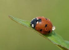 Ladybug on a grass leaf Royalty Free Stock Image