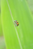 Ladybug on grass Royalty Free Stock Image