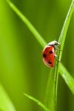 Ladybug on Grass Over Green Bachground Royalty Free Stock Images