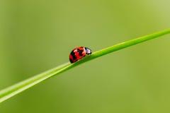 Ladybug on grass Stock Image