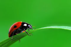 Ladybug on grass Royalty Free Stock Photo