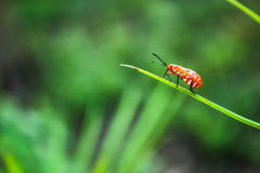 Ladybug. On grass with a sharp blade Royalty Free Stock Photography
