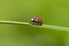 Ladybug on grass stem Royalty Free Stock Image