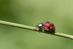Ladybug on grass stem Royalty Free Stock Photography