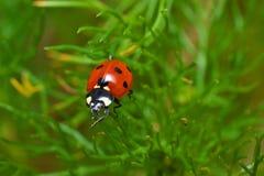 Ladybug on a grass Stock Image