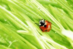 Ladybug on grass Stock Images