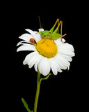 Ladybug and grasshopper to chamomile. Ladybug and grasshopper sitting on a flower daisies Royalty Free Stock Images