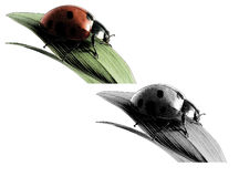Ladybug. Gravure effect in Photoshop Royalty Free Stock Photos