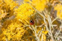 Ladybug on Gray Horsebrush Stock Photography