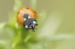 Ladybug on a green background.  Royalty Free Stock Photography