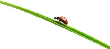 Ladybug on a green blade of grass Stock Image
