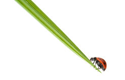 Ladybug on a green blade of grass Royalty Free Stock Photography
