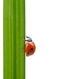Ladybug on a green blade of grass Royalty Free Stock Photos