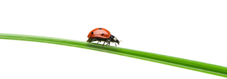 Ladybug on a green blade of grass royalty free stock image