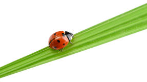 Ladybug on a green blade of grass Royalty Free Stock Photo