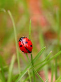 Ladybug on a green blade Stock Photos