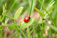 Ladybug on a green blade Royalty Free Stock Photography