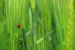 Ladybug. On a green field Stock Photography