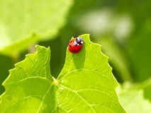 Ladybug on green fresh leaf in a summer sunny day, gentle light green natural background, soft focus royalty free stock photos
