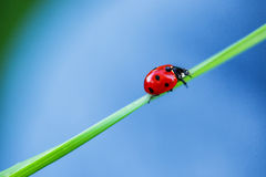 Ladybug on green gradd and blue background Stock Photography