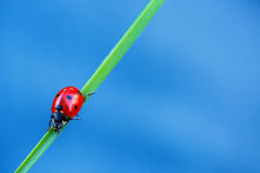 Ladybug on green gradd and blue background Royalty Free Stock Photo