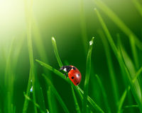 Ladybug in green grass Royalty Free Stock Photos