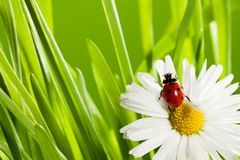 Ladybug in green grass Stock Photography