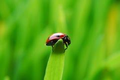 Ladybug on green grass Stock Image