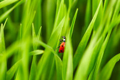Ladybug on green grass Stock Photos