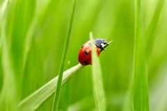 Ladybug on green grass Stock Photography