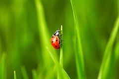 Ladybug on green grass Royalty Free Stock Image