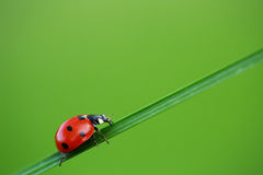Ladybug on green grass Royalty Free Stock Photos
