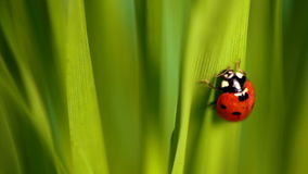 Ladybug in green grass stock footage