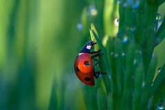 Ladybug on a green grass Stock Photo