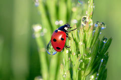 Ladybug on a green grass Royalty Free Stock Photography