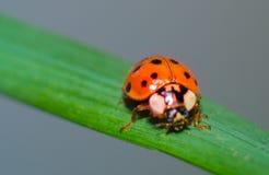 Ladybug on green grass macro close up Royalty Free Stock Images