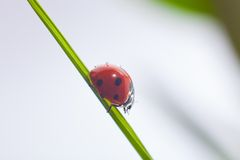 Ladybug on green grass. Macro of the nature royalty free stock image