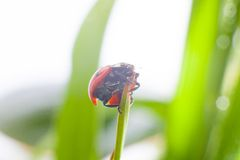 Ladybug on green grass. Macro of the nature stock photo